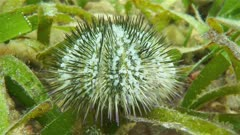 Variegated sea urchin or green sea urchin, Lytechinus variegatus, underwater in the Caribbean sea