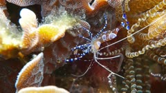 Underwater marine life, a spotted cleaner shrimp, Periclimenes yucatanicus, in the Caribbean sea