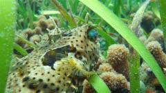 Close up of a bridled burrfish, Chilomycterus antennatus, tropical fish of the Caribbean sea, Panama