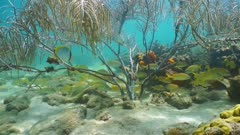 Underwater life, shoal of grunt fish under a gorgonian sea plume coral on seabed of the Caribbean sea