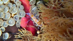 Colorful spotted cleaner shrimp, Periclimenes yucatanicus, on the seabed of the Caribbean sea