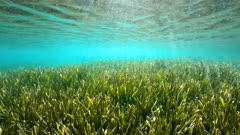 Shallow seagrass Posidonia Oceanica under water surface with small fish, natural light, Mediterranean sea, France, French Riviera, Var