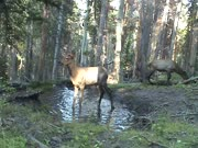 Three Male Elk Yearling Sparring