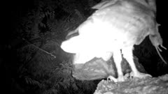 Barn Owl Hunting and Feeding