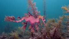 leafy sea dragon kangaroo island south australia