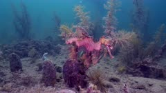 Leafy Sea Dragon turn towards camera swim away