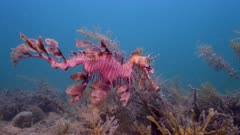 leafy sea dragon old male swimming
