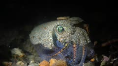 Southern Bobtail Squid at night