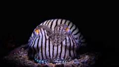 striped pyjama squid (Sepioloidea lineolata)