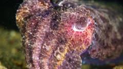 juvenile Giant Australian Cuttlefish (sepia apama)