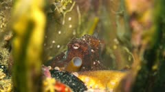 Octopus australis (hammer octopus)