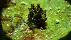 Cyerce sp Nudibranch butterfly nudibranch Manado