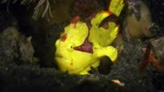 Clown Frogfish yawning (Antennarius maculatus) Lembeh Indonesia