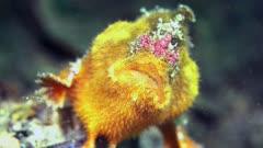 Anglerfish prickly South Australia Frogfish 25fps 4k