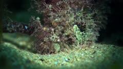 Tasselled Anglerfish South Australia Frogfish 25fps 4k