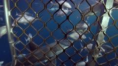 Great White Shark Neptune Islands South Australia slow motion 4k