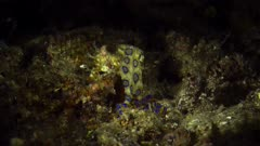 Greater blue-ringed Octopus Hapalochlaena lunulata Lembeh Indonesia 4k 25fps