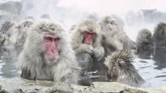 The Japanese Macaque (Snow) Monkeys Enjoying A Bath In The Onsen Of Jigokudani Yaenkoen, Nagano Prefecture