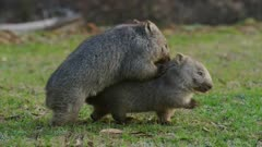 Two wombats, babies, playing