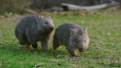 Wombats Playing
