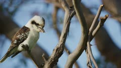 Kookaburra perched on a branch in the wind, looking for prey