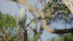 Sulphur Crested Cockatoo perched on a stick