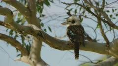 Kookaburra perched on a gum tree branch in the shade