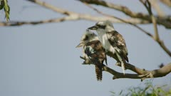 Two Kookaburras perched on a gum tree branch in the shade