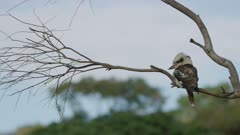 Kookaburra, from behind, perched on a branch looking for prey