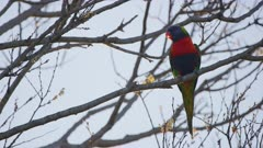 Rainbow lorikeet parrot perched on a branch