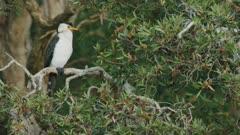 Australian Pied Cormorant perched on branch