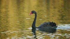 Black Swan on lake at sunset