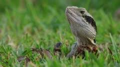 Eastern Water Dragon lying in grass, alert