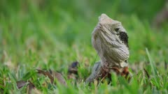 Eastern Water Dragon lying in grass, moves head
