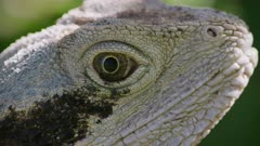 Eastern Water Dragon eye close up, moves head