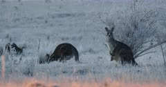 Eastern Grey Kangaroo with joey in pouch, frosty morning