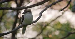Kookaburra perched in tree