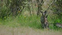 Eastern Grey Kangaroo joey in the midday sun