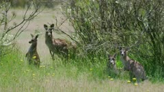 Eastern Grey Kangaroo with joey in the midday sun