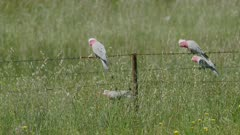 Galahs perched on barbed wire fence