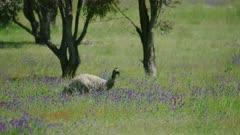 Emu walking through grasslands