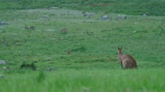 Male Eastern Grey Kangaroo turns head, looks alert, wide shot