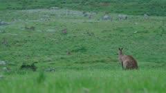 Male Eastern Grey Kangaroo turns head, looks alert, wide shot