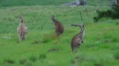 Eastern Grey Kangaroos turn heads, looking alert