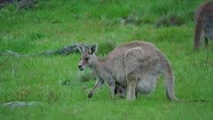 Eastern Grey Kangaroo with joey grazing