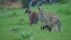 Eastern Grey Kangaroo with joey grazing, looking alert