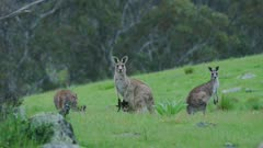 Eastern Grey Kangaroo with joey looking alert, mid shot