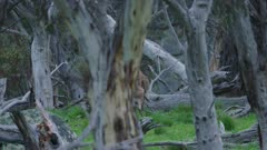 Eastern Grey Kangaroos fighting in forest