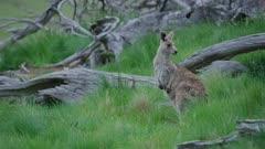 Juvenile Eastern Grey Kangaroos chewing grass, looking alert