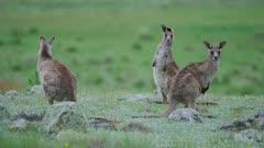 A group of juvenile Eastern Grey Kangaroos looking alert